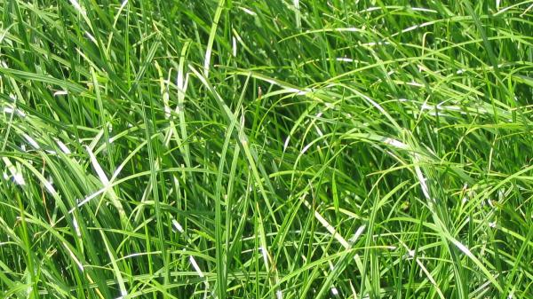 Ray-grass anglais